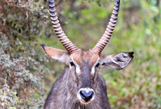 Water-buck male Stock Image