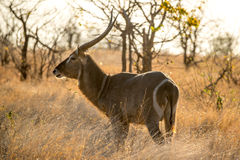 Water Buck Stock Photography