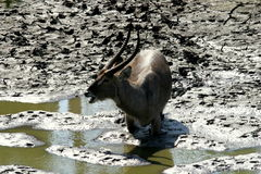 Water buck in the mud. The water buck was in a mud pool in a river bed in the Kruger Park Stock Photo