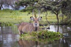 Water Buck at the Naivasha Lake in Kenya Royalty Free Stock Photos