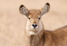 Water Buck nose Royalty Free Stock Image