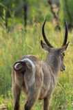 Water Buck Rear View Royalty Free Stock Photography