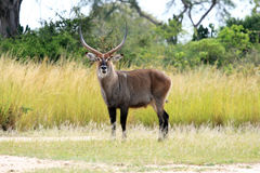 Water Buck - Uganda, Africa Stock Photography