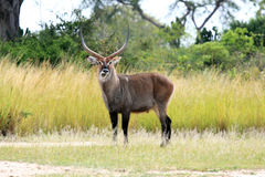Water Buck - Uganda, Africa Royalty Free Stock Photos