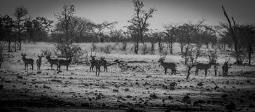 Water bucks looking. In the wild in Victoria Falls Zimbabwe stock photo