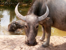 Water buffalo. And calve stock images