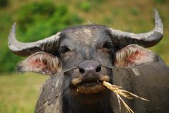 Water buffalo Stock Photography
