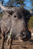 Water Buffalo Royalty Free Stock Photography