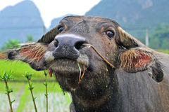 Water buffalo. Portrait of a water buffalo on the rice fields of Guilin Stock Photography