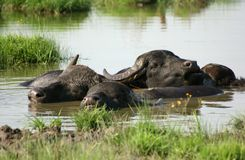 Water-buffalo Stock Photo