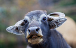 Water buffalo. Portrait of Water buffalo close-up Royalty Free Stock Photo