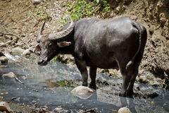 Water buffalo. In Rinca Island, Indonesia Stock Images