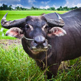 Water Buffalo. A water buffalo stands nearby a rice Field Royalty Free Stock Photo