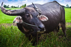 Water Buffalo. A water buffalo stands by a rice field in Thai rural area Royalty Free Stock Photos