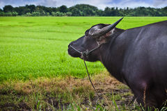 Water Buffalo. A water buffalo looks into a rice field Royalty Free Stock Image