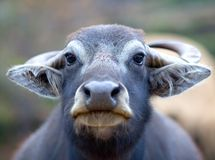 Water buffalo. Portrait of Water buffalo close-up Royalty Free Stock Photos
