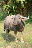 Water buffalo. An water buffalo in the sun (Thailand Royalty Free Stock Photography