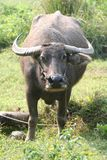 Water buffalo. An water buffalo in the sun (Thailand Royalty Free Stock Photos