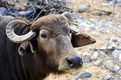 Water Buffalo. Closeup of a water buffalo Royalty Free Stock Image