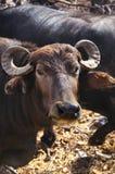 Water Buffalo. Closeup of a water buffalo Stock Photos