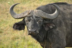 Water buffalo. Head close up Royalty Free Stock Photo