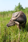 A water buffalo Royalty Free Stock Photography