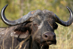 Water Buffalo. Battle Scarred Water Buffalo in Kruger National Park, South Africa Stock Image