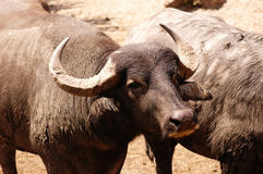 Water Buffalo. Dirty (as always) water buffalo (Bubalus bubalis Stock Photo