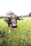 Water buffalo Stock Photo