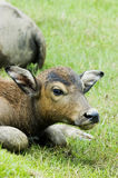 Water buffalo. The water buffalo at the meadow Stock Images