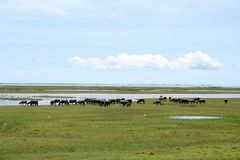 Water buffalo. A group of wild water buffalo at Thale Noi, Thailand Royalty Free Stock Photos