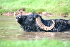 Water Buffalo. Image of water buffalo wading in a river Royalty Free Stock Image