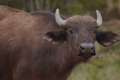 Water Buffalo in African plains Royalty Free Stock Photography