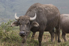 Water buffalo. Angry loking water buffalo field Stock Images