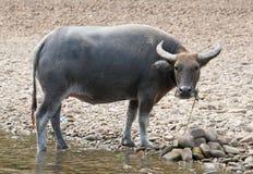Water Buffalo At Riverside Royalty Free Stock Images