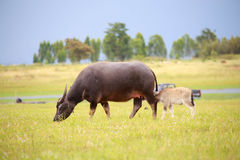 Water buffalo and baby Stock Photo