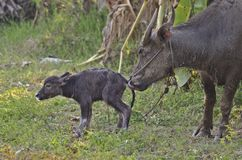 Water buffalo and baby Stock Images