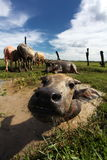 Water Buffalo: The Backbone of Thailand Royalty Free Stock Photo