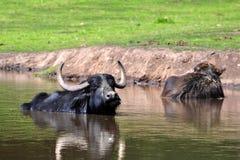 The water buffalo Stock Photos