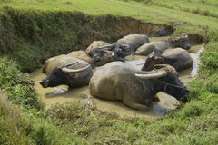 Water Buffalo Bath Royalty Free Stock Image