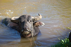Water buffalo bathing Royalty Free Stock Images