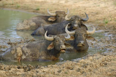 Water buffalo are bathing in a lake Stock Photos