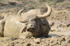 Water buffalo are bathing in a lake Stock Images