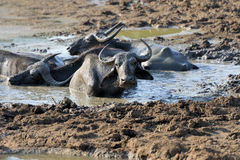 Water buffalo are bathing in a lake Royalty Free Stock Image