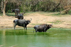 Water buffalo are bathing in a lake Stock Photography