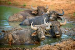 Water buffalo are bathing in a lake royalty free stock photography