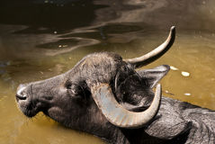Water buffalo. In Berlin zoo Stock Image