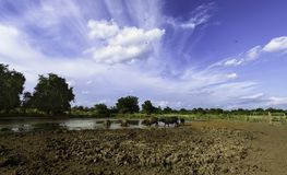 Water buffalo and blue sky. Water buffalo walking to mud and blue sky Royalty Free Stock Photos