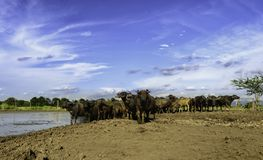 Water buffalo in mud. Water buffalo and blue sky Royalty Free Stock Image