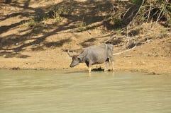 Water Buffalo (Bubalus bubalis) Stock Images